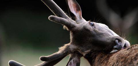Serata con i soci – Il Cervo sardo e il Cervo della Mesola – 9 aprile 2014