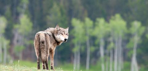 Yellowstone, il tempio del lupo con Rocco Cinefra