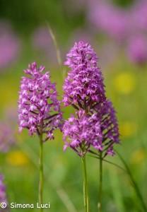 Orchidee selvatiche